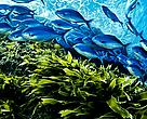 A school of Blue maomao fish (Scorpis violaceus) swim above a bed of kelp, in a marine sanctuary where fishing is banned off the Poor Knights Islands, New Zealand.