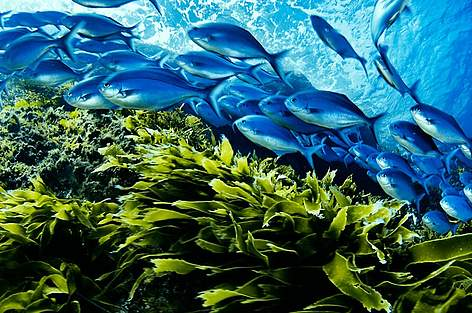 A school of Blue maomao fish (Scorpis violaceus) swim above a bed of kelp, in a marine sanctuary ... rel=