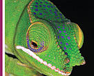 Cover of WWF's Living Planet magazine, out July 2011 showing a green chameleon.