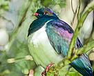 Kererū are important for keeping our forests healthy.  They are the only birds that can spread the seeds of native trees that have very big fruit, like tawa, miro, and taraire.