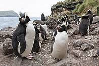 Erect-crested penguins are among the diverse range of species found at the Antipodes Islands / ©: Bob Zuur / WWF