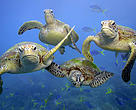 Green turtles (Chelonia mydas) swimming. Three of the world's seven sea turtle species are found in the Kermadec area (hawksbill, leatherback and green turtles). They are all endangered or critically endangered.