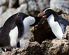 Pair of preening Snares crested penguins. Live or speeding up the moulting process?