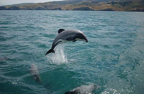 Maui's dolphin, New Zealand. In 2008/9, the fishing industry launched a legal bid to block vital ... / ©: Will Rayment