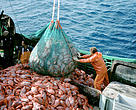 Industrial fisheries of Orange roughy. Emptying a mesh full of Orange roughy into a trawler.