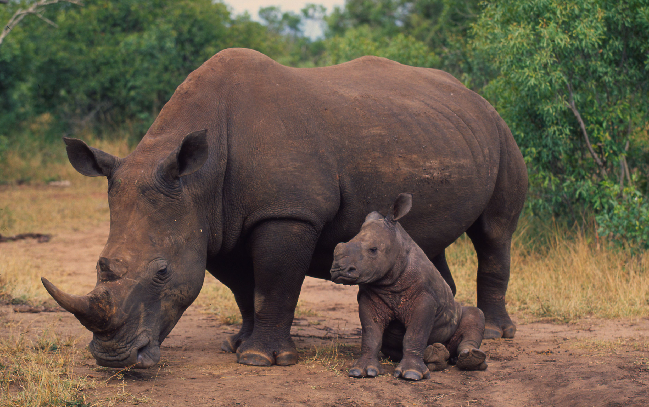 WWF to move critically endangered rhinos to new habitats ...