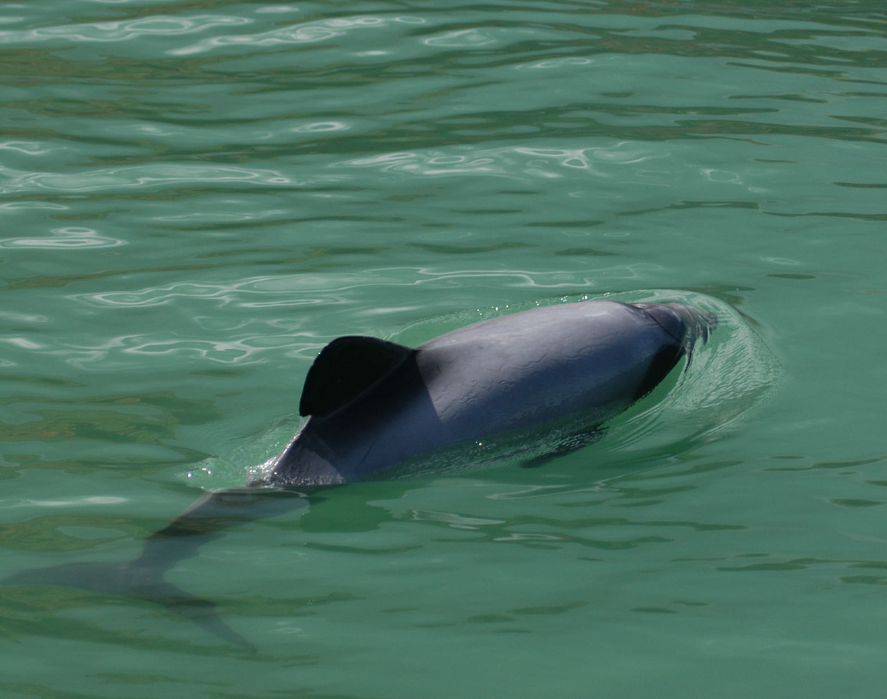 Māui dolphin