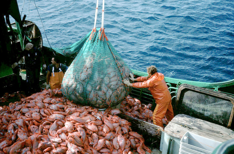 Unloading orange roughy