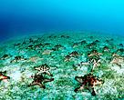 Sea stars. Indo-Pacific Ocean
