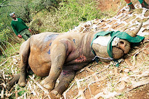 Image of tranquilized rhino attended by wildlife conservation staff
