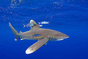 Oceanic whitetip shark and pilot fish, Central Pacific Ocean