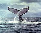 Humpback whales, Megaptera novaeangliae, mate and give birth in the Bay of Málaga, Colombia. Chocó Ecoregional Programme