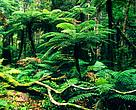 Whirinaki Conservation Park - Native forest interior with tree ferns North Island, New Zealand
