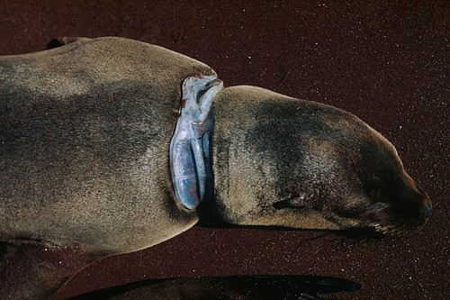 Body of a Galapagos sea lion with a plastic bag wrapped around its neck